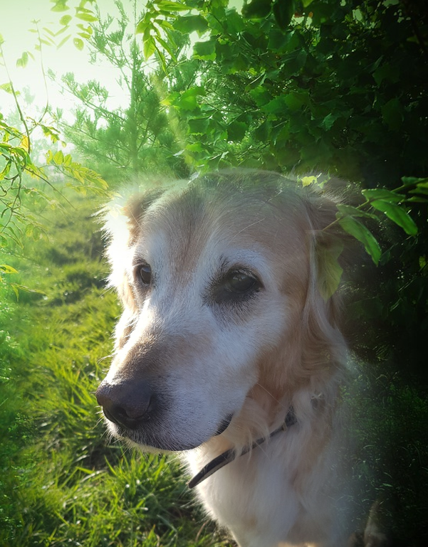Golden retriever in natuur